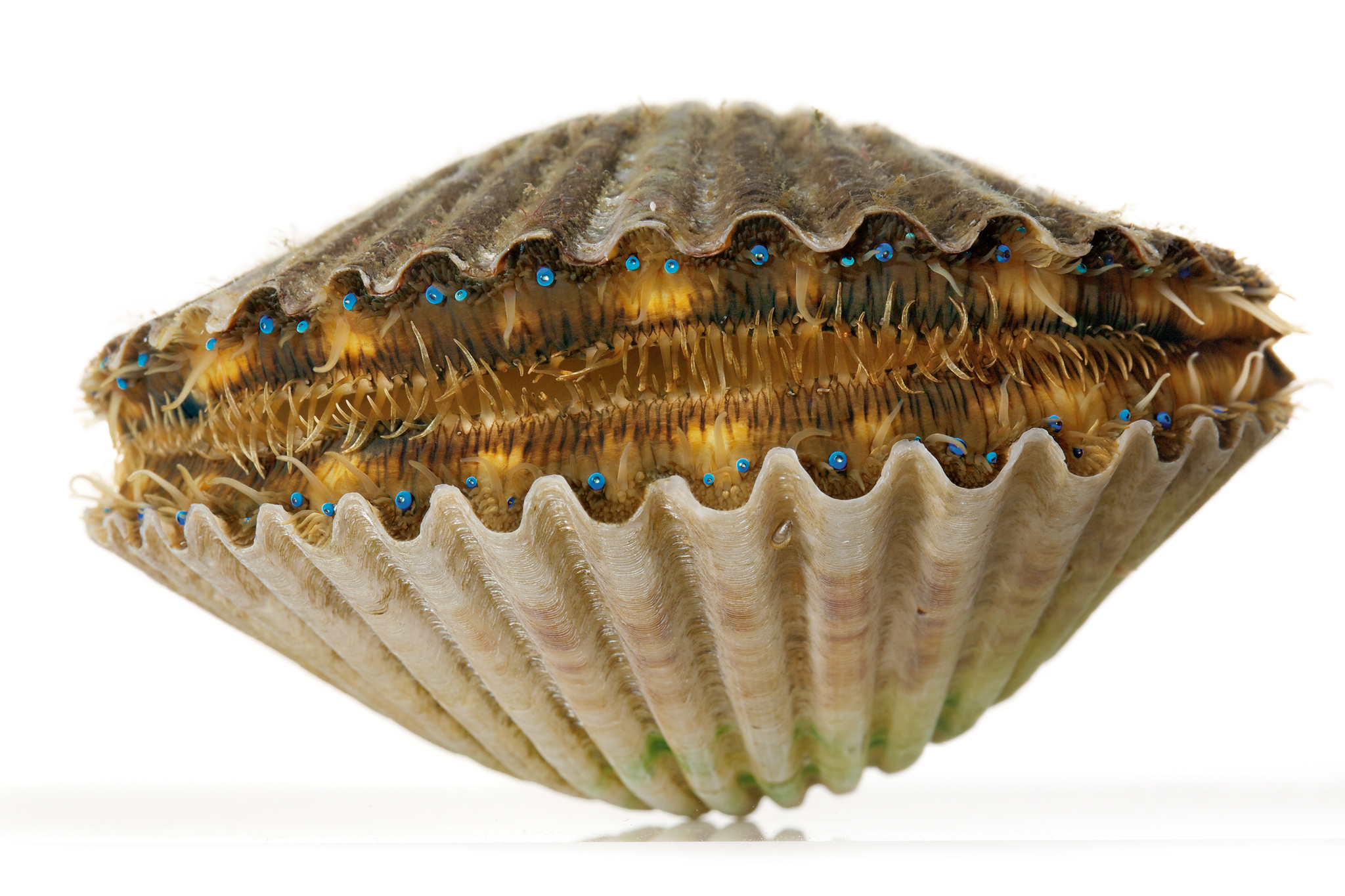 Bay Scallop, Scientific Name: Argopecten irradians